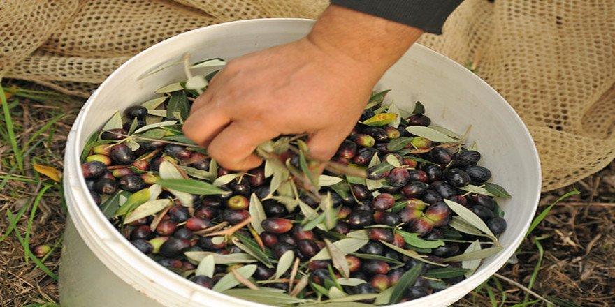 Coldiretti, scatta raccolta olive Marche con -30% olio ...