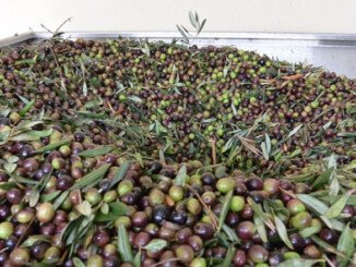 Olio di oliva aumento produzione olio