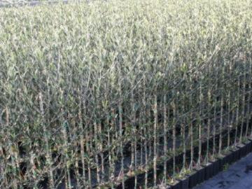 Xylella olivo resistente al batterio
