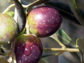 cultivar Itrana