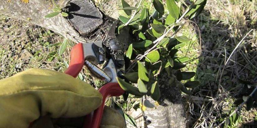 Potatura piante olivo