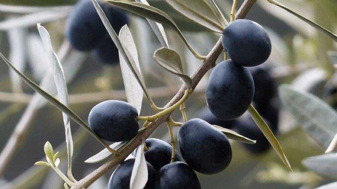 Profumo dell'olio d'oliva